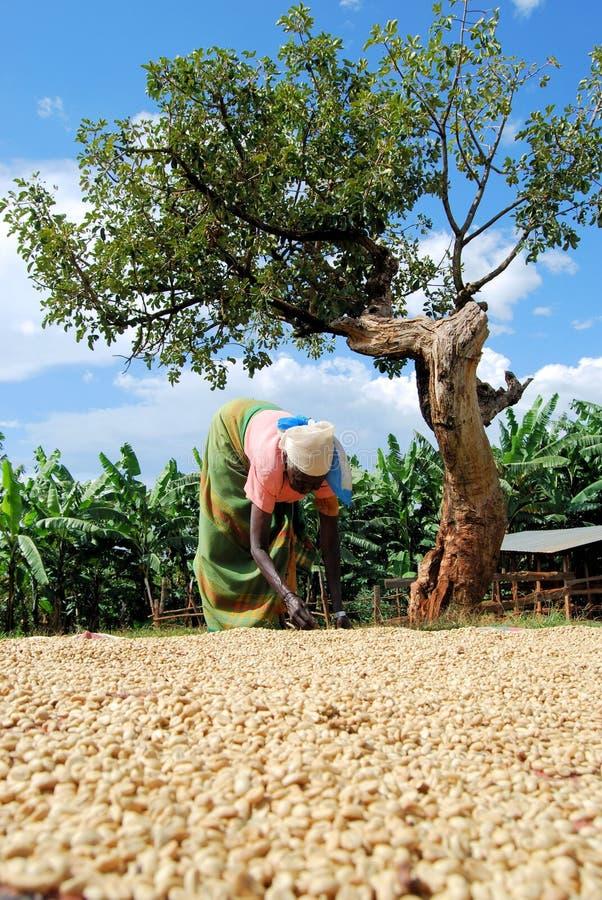 Kaffeelandwirt lizenzfreie stockfotos