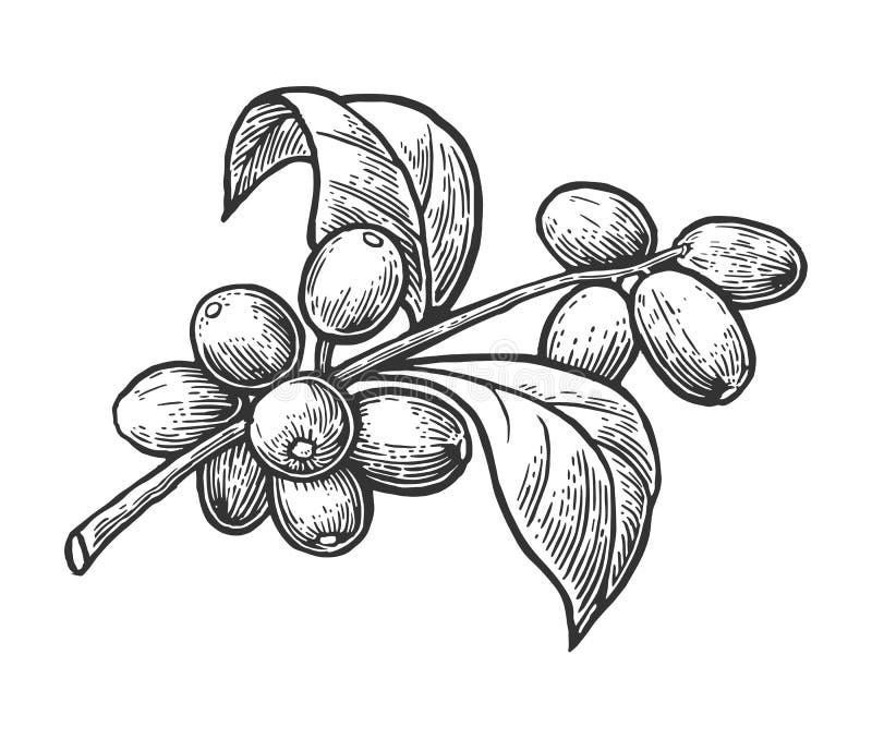 Kaffefilial med bladet och bäret Räcka den utdragna illustrationen för vektortappninggravyr på vit bakgrund stock illustrationer