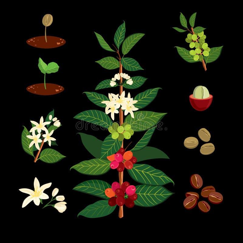 Kaffefilial på bakgrunden av översikten Växten med bladet, blommor, bäret, frukt, kärnar ur stock illustrationer
