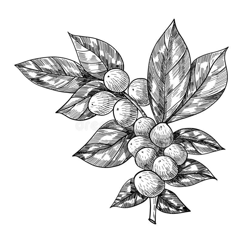 Kaffefilialen med bladet, bäret, kaffebönan, frukt, kärnar ur Naturlig organisk koffein Hand tecknad vektorillustration royaltyfri illustrationer