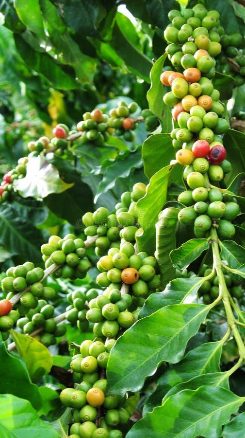 kaffepartiklar små yunnan royaltyfri foto