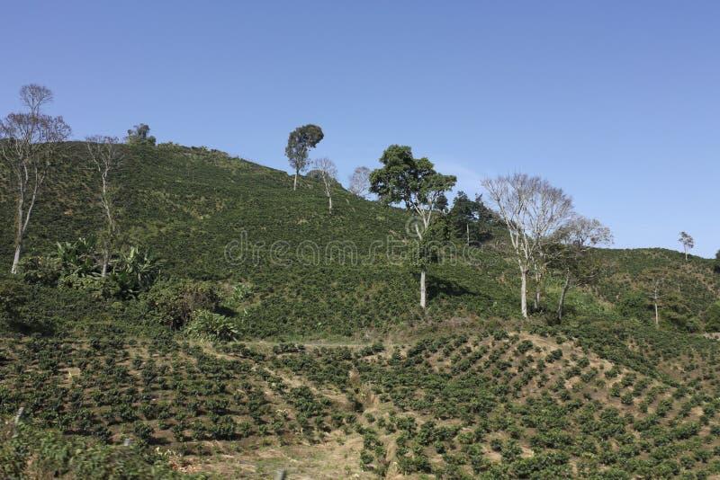 Kaffet kuter, också kallat Kaffe Triangel i Colombia. arkivbilder