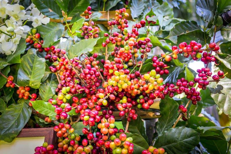 Kaffeträd med kaffebönan på kafékoloni arkivfoton