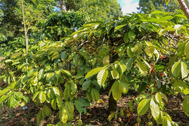 Kaffeträd på kafékoloni Ny arabicakaffeböna på träd på Bali Lantgård och koloni för Robusta kaffe royaltyfri fotografi