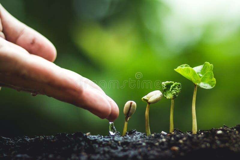 Kaffeträd som växer plantera frö i regnig säsong för natur arkivfoton