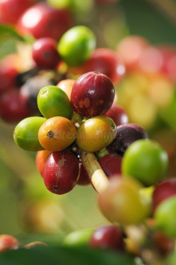 kaffeväxt fotografering för bildbyråer