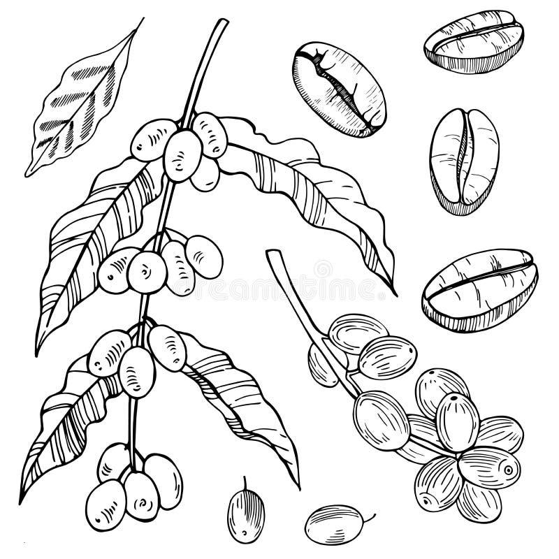 Kaffeväxt och bönor Vektorn skissar illustrationen royaltyfri illustrationer