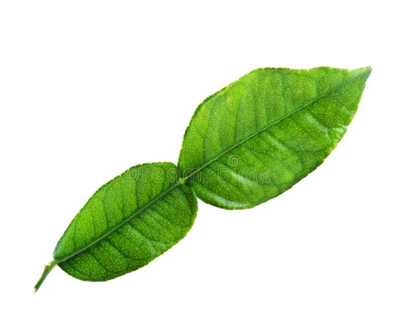 Kaffir lime leaf. Fresh kaffir lime leaf isolated on white background stock images