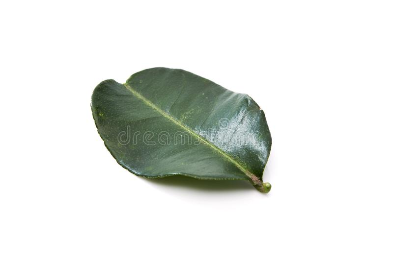 Kaffir lime leave. Close up of kaffir lime leave on white background stock photo