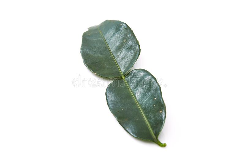 Kaffir lime leave. Close up of kaffir lime leave on white background royalty free stock images