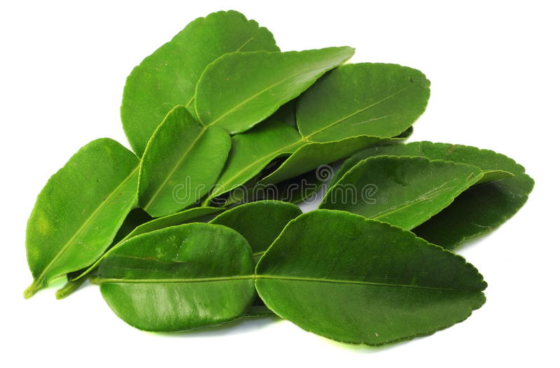 Kaffir lime leaves stock photography