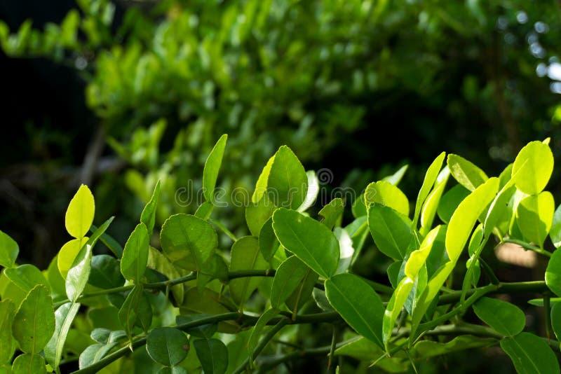 Kaffir lime leaves stock images