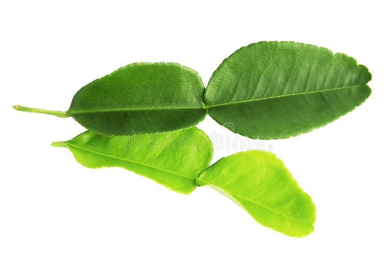 Kaffir lime leaves isolated on a white background royalty free stock photo