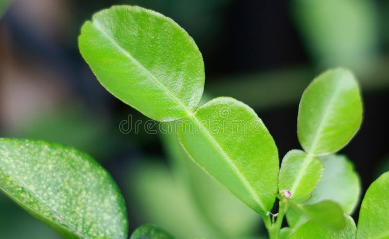 Kaffir Lime Leaves. Flower on tree. One of the ingredients of Indonesian cuisine stock images