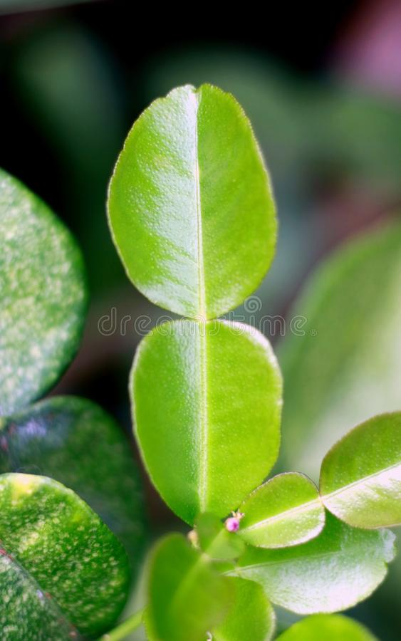 Kaffir Lime Leaves. Flower on tree. One of the ingredients of Indonesian cuisine stock photography