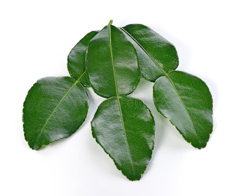 Kaffir lime leaves. stock photos