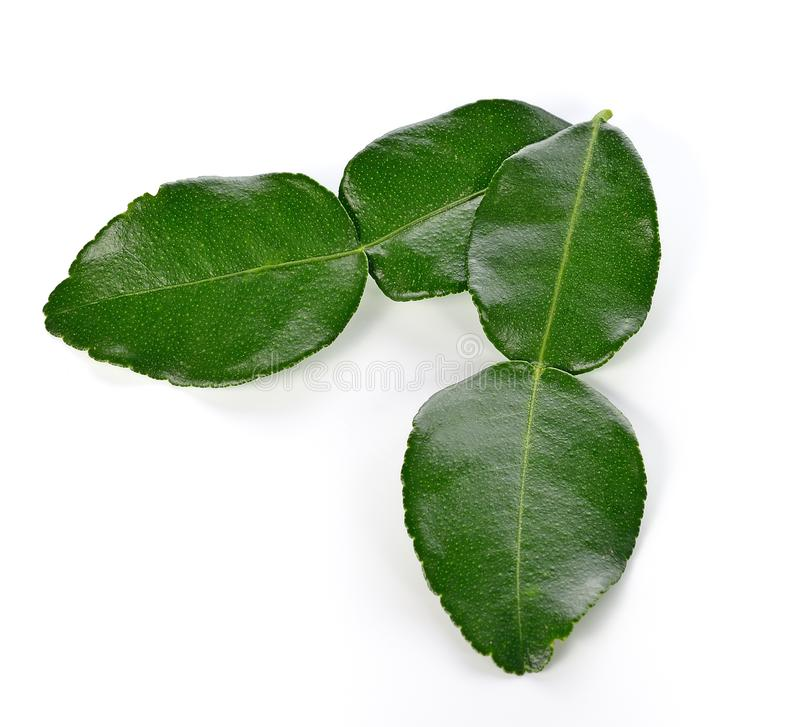 Kaffir lime leaves. royalty free stock image