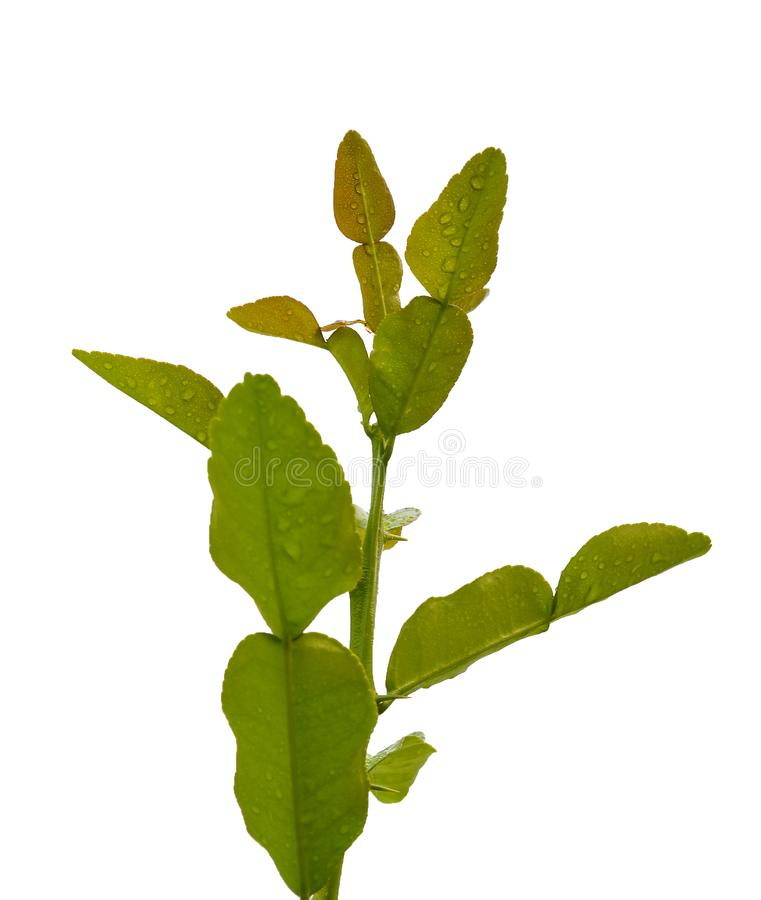 Kaffir lime leaves. royalty free stock images