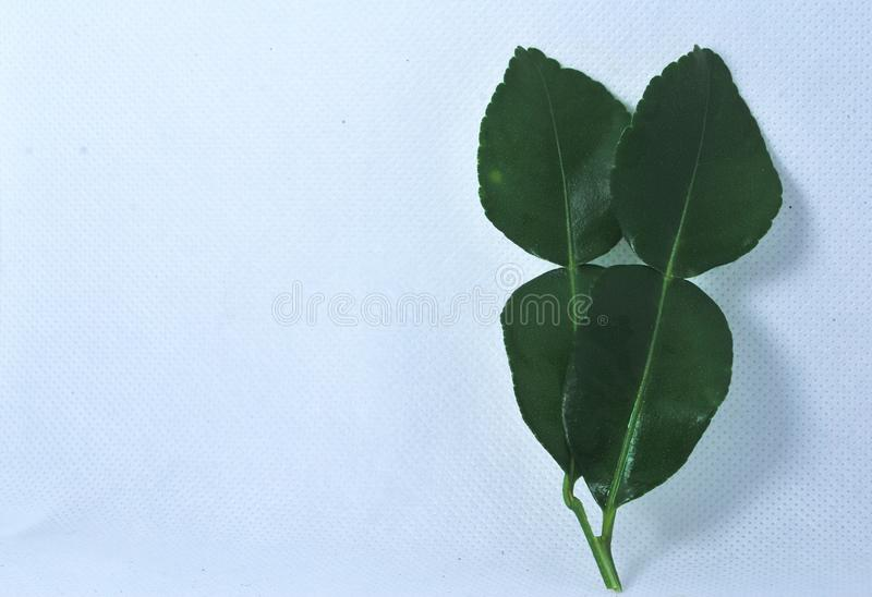 Kaffir lime leaves on a white background stock photo
