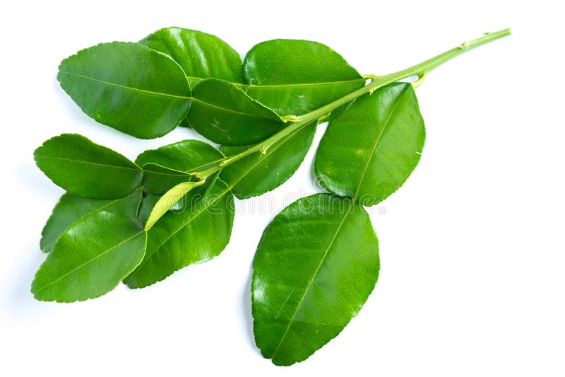 kaffir lime leaves on white royalty free stock image