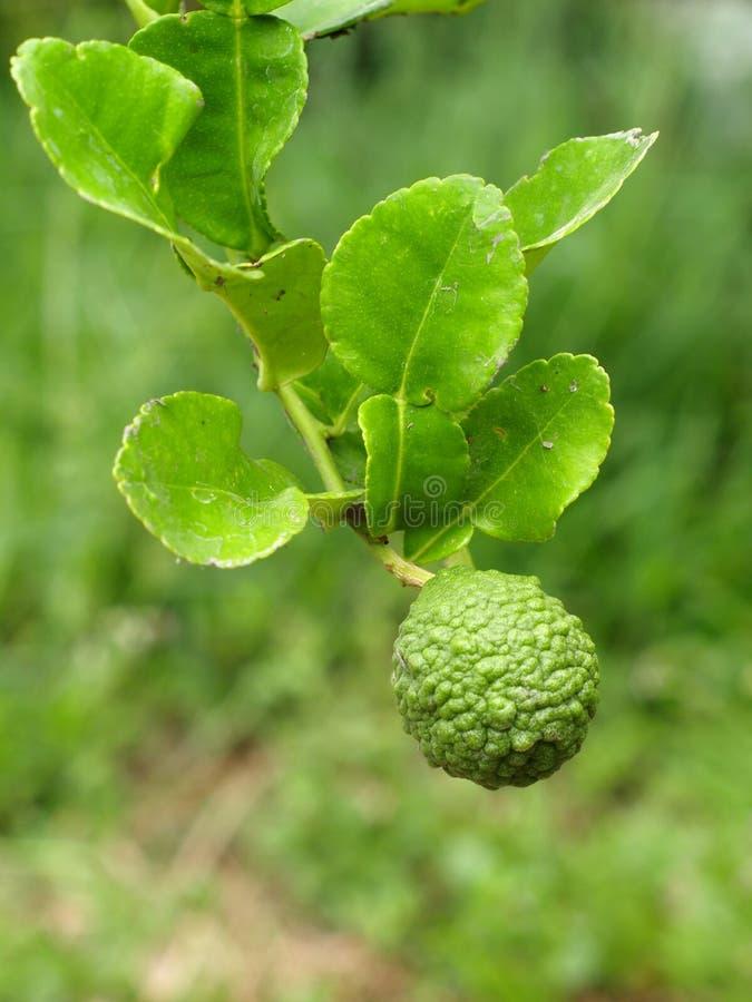 Kaffirlimefrukt royaltyfria bilder