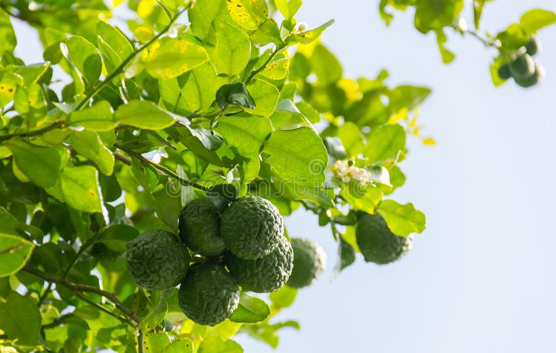 Kaffirlimefrukt, vetenskapligt namn för bergamot: Citrus hystrixgräsplan fr arkivfoto