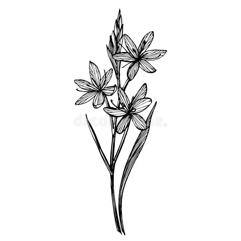 Kafir Lilies flowers. Collection of hand drawn flowers and plants. Botany. Set. Vintage flowers. Black and white royalty free illustration