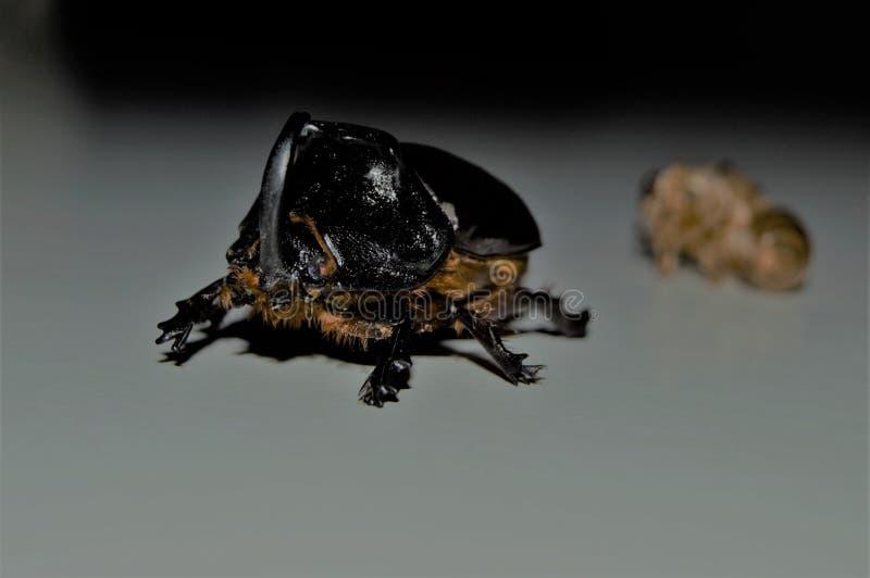 Kafka Beetle royalty free stock images