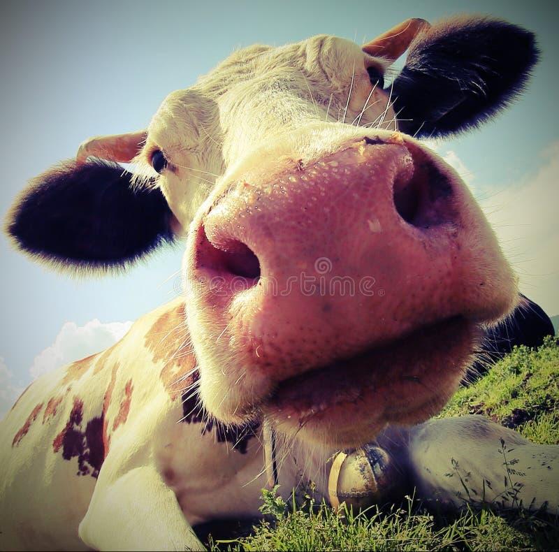 Kaganiec krowa z rocznika skutkiem obrazy stock