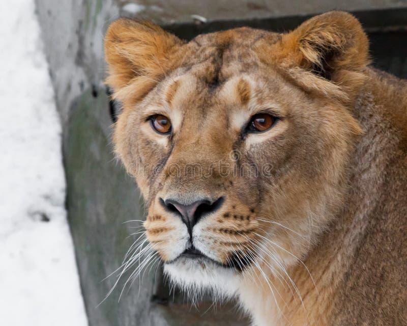 Kaganiec lwica zamknięta w górę, piękna pomarańcze ono przygląda się zdjęcia royalty free