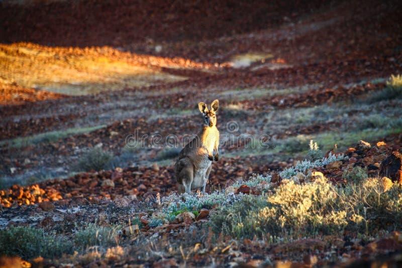 Kagaroo förvånade på solnedgången på brytningarna som beskydd parkerar, pedy coober, södra Australien, Australien arkivbild