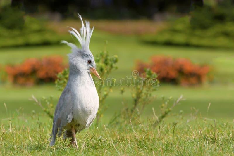 Kagu est un oiseau crêté, aux jambes longues, et gris-bleuâtre endémique aux forêts denses de montagne de la Nouvelle-Calédonie images stock