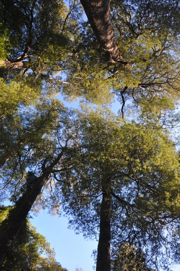 Kahikatea Forest Canopy, Christchurch, New Zealand. Canopy of Kahikatea tree forest in Deans Bush, Christchurch, New Zealand. The Kahikatea is the tallest native royalty free stock photos