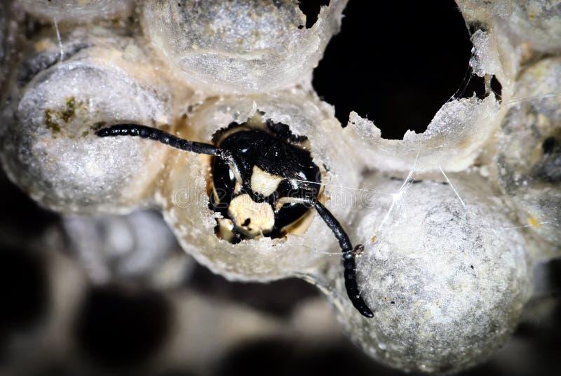 Kahl-gesichtige Hornisse, die von einem Nest auftaucht lizenzfreie stockbilder