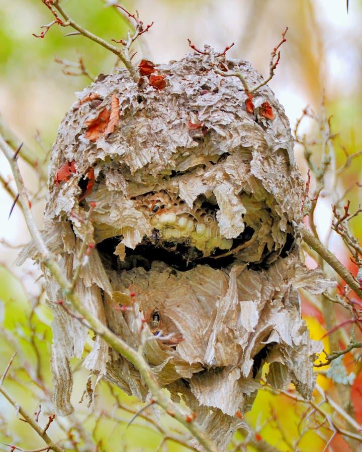 Kahl-gesichtiges Hornissen-Nest lizenzfreie stockbilder