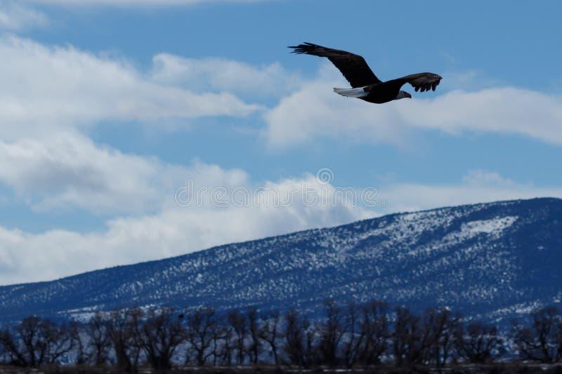 Kahl werdend Adler im Flug lizenzfreie stockfotos