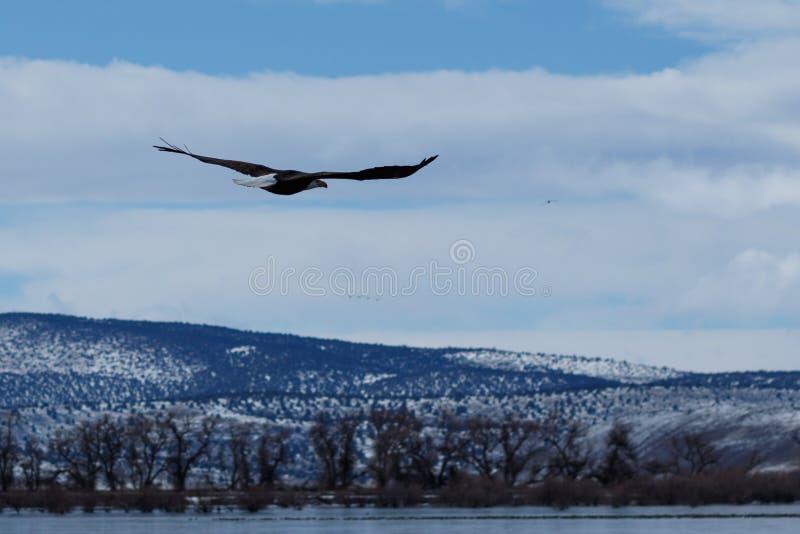 Kahl werdend Adler im Flug stockfotografie