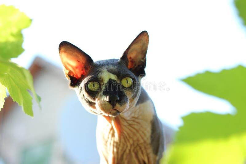 Kahle Katze stockbild
