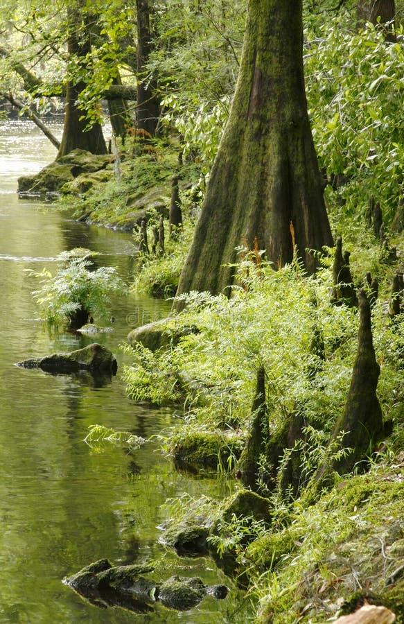 Kahle Zypresse-Bäume auf den Querneigungen des Flusses stockfotos