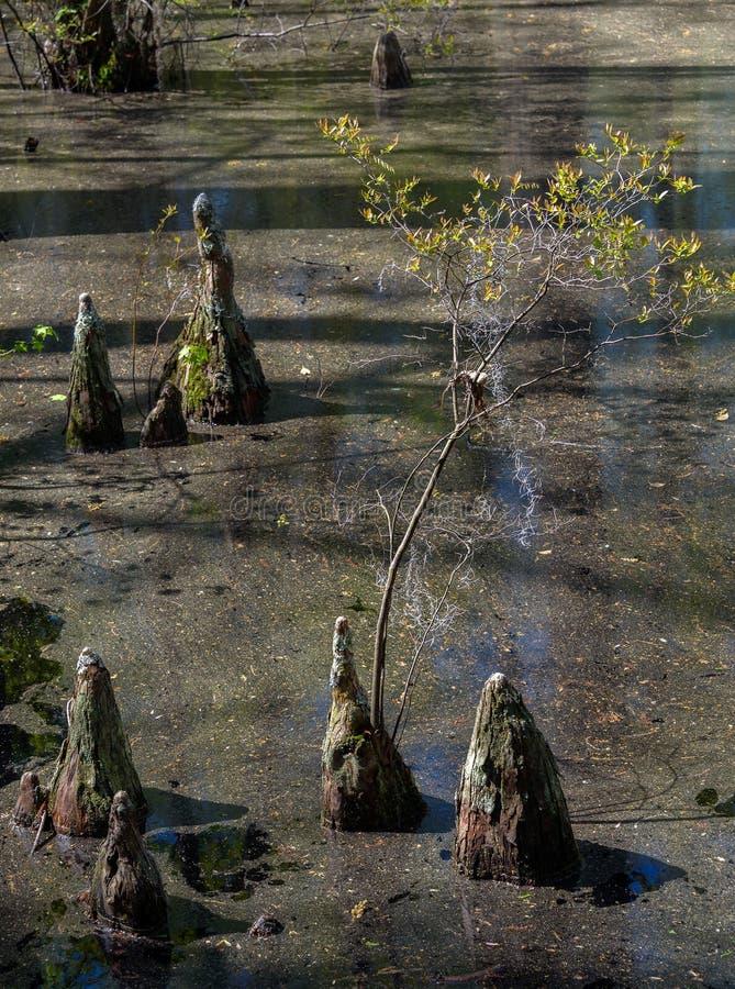 Kahle Zypresse-Baum-Knie lizenzfreie stockbilder