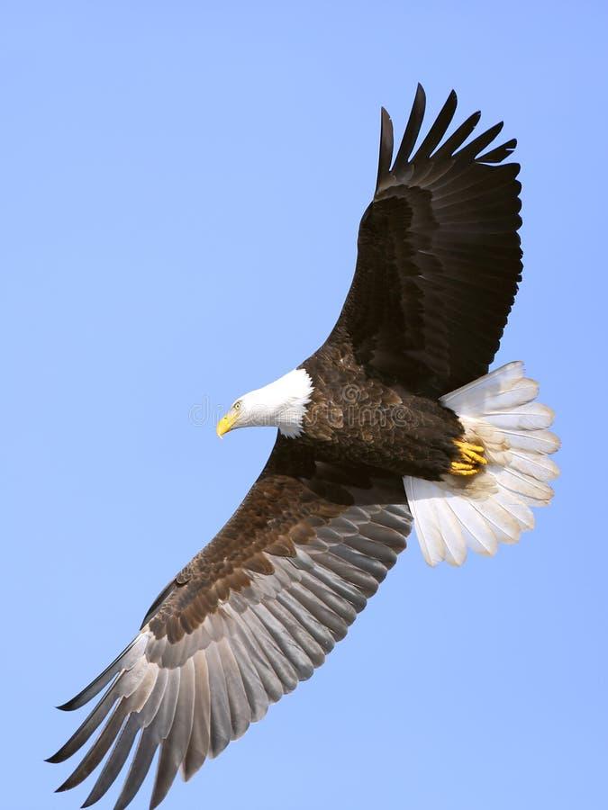 Kahler Adler, der im Himmel ansteigt stockbild