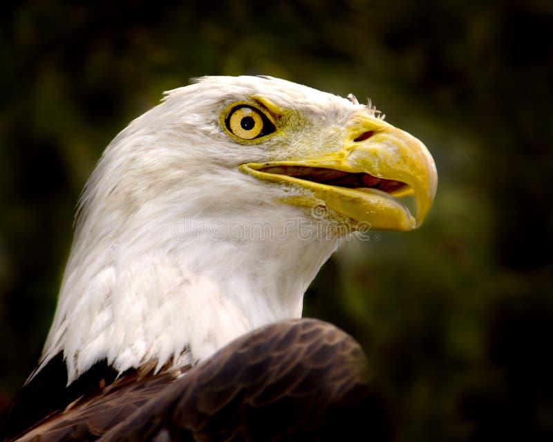 Download Kahler Adler-Portrait stockfoto. Bild von vogel, tiere, kahl - 46404