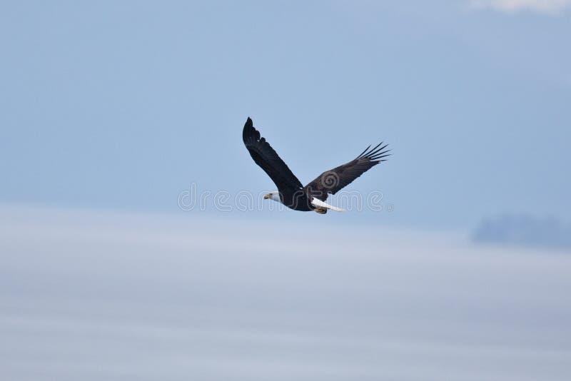 Kahler Eagles stockfotos