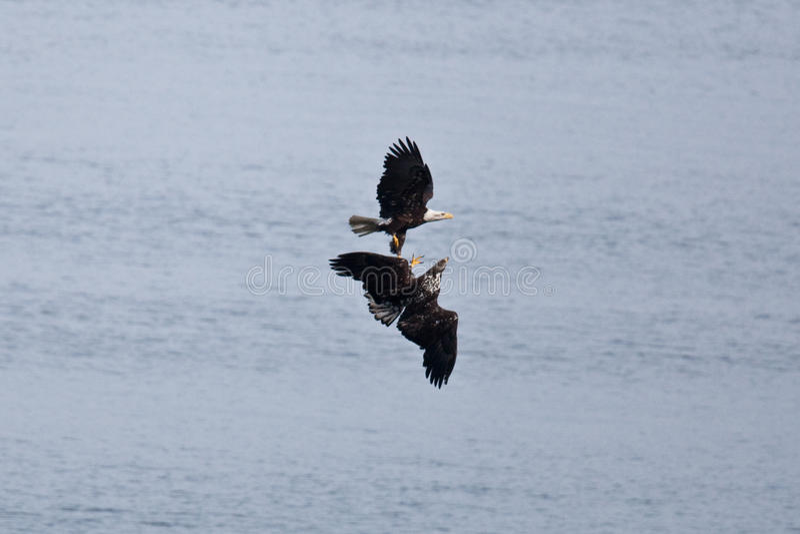 Kahler Eagles lizenzfreie stockfotografie
