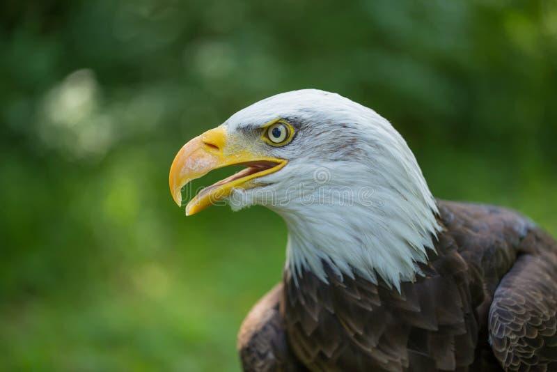 Kahles Eagle Haliaeetus-leucocephalus auf einem grünen Hintergrund in der menschlichen Sorgfalt lizenzfreie stockbilder