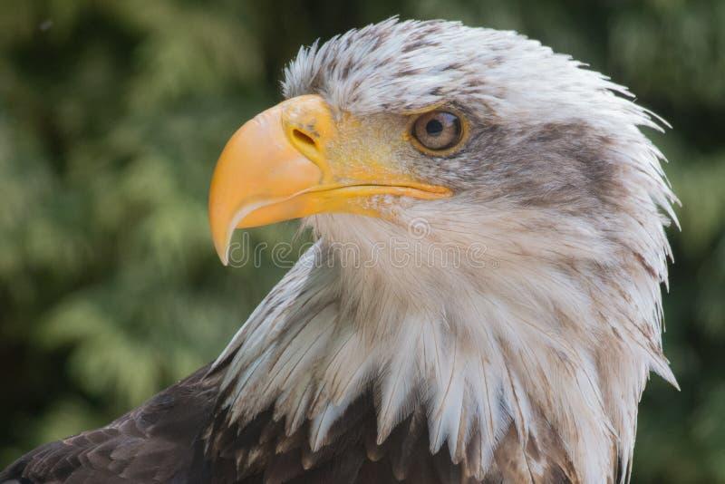 Kahlköpfiger Adler stockfotos