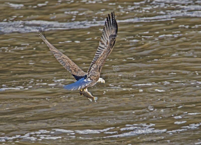 Kahlköpfiges Eagle hat einen Fisch in seinen Greifern gefangen lizenzfreies stockfoto