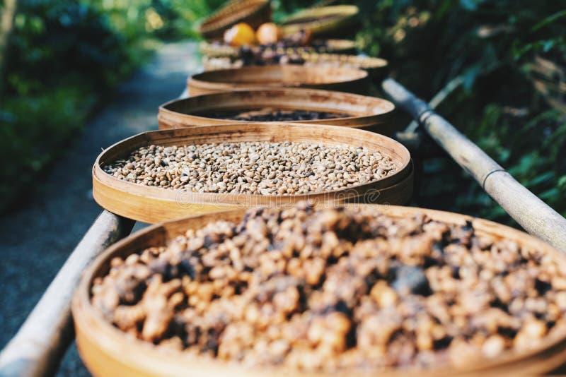 Kahlua在咖啡的咖啡豆在巴厘岛印度尼西亚种田 免版税库存照片