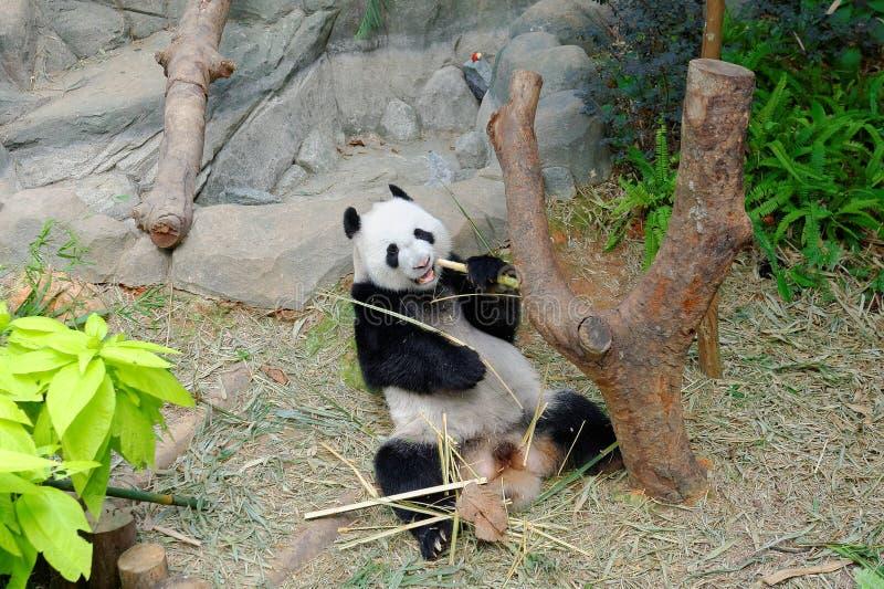 Kai Kai a panda masculina que come o bambu em seu habitat imagem de stock royalty free
