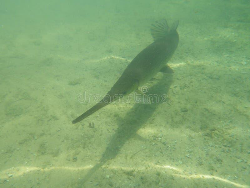 Kaimanfischfische lizenzfreie stockbilder